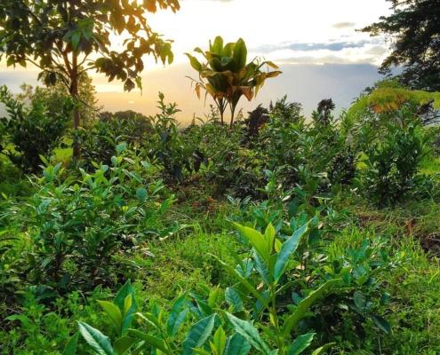Maui Organic Tea Farm