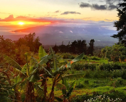 Maui Tea Grown Organic in Hawaii