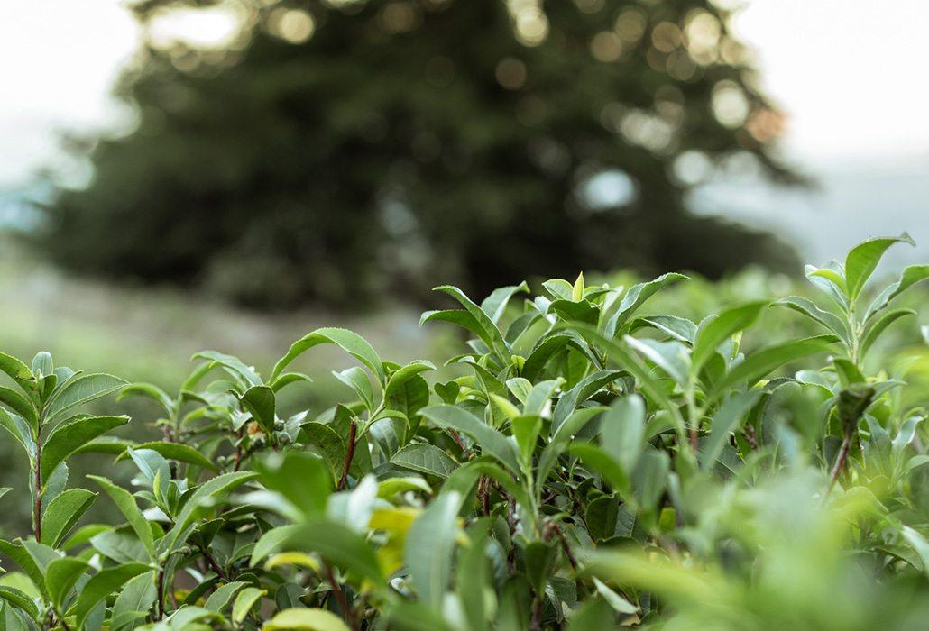 Green Tea - Maui Tea Farm
